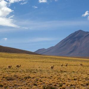 Alpaca Chili