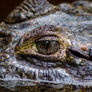 Krokodil Bolivia