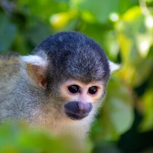 Kapucijner aap Bolivia