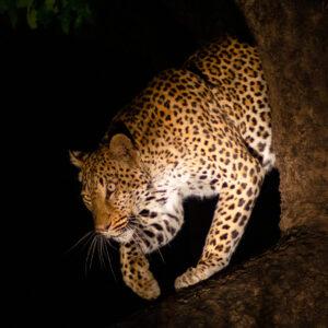 Catch in the night, Lower Zambezi National Park