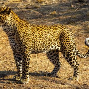 Leopard, Lower Zambezi National Park