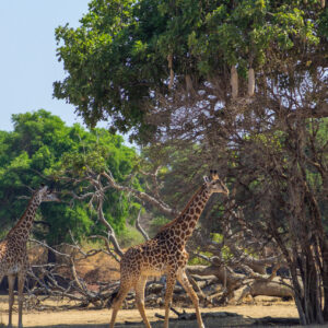 Giraffes, Lower Zambezi National Park