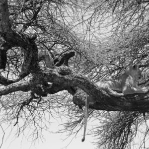 Nap time, Serengeti