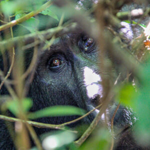 Hide and Seek, Bwindi Impenetrable Forest
