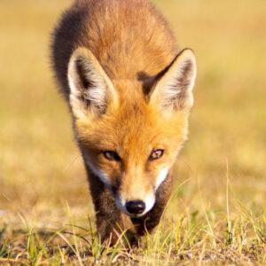 Smirre the Fox, Amsterdamse waterleidingduinen